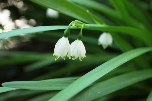 2月2日の誕生花 スノードロップ