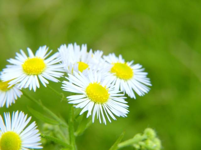 4月14日の誕生花 ハルジオン - 花言葉は「追想の愛」