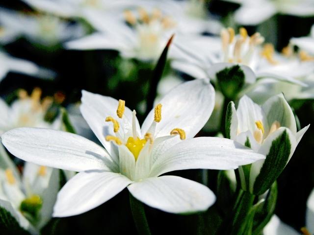 2月27日の誕生花 オーニソガラム