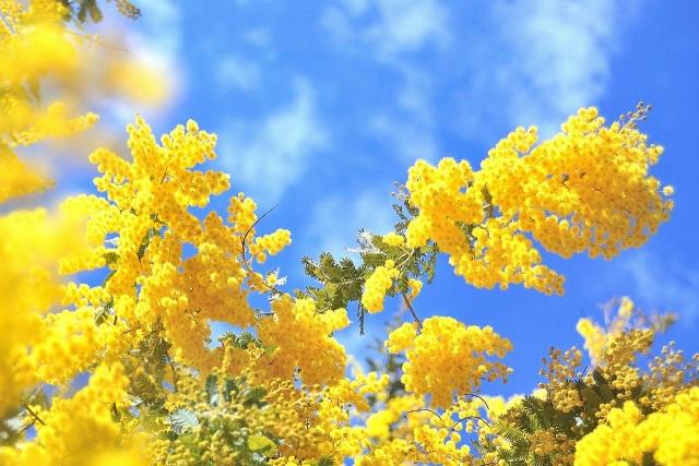 2月14日の誕生花 ミモザアカシア