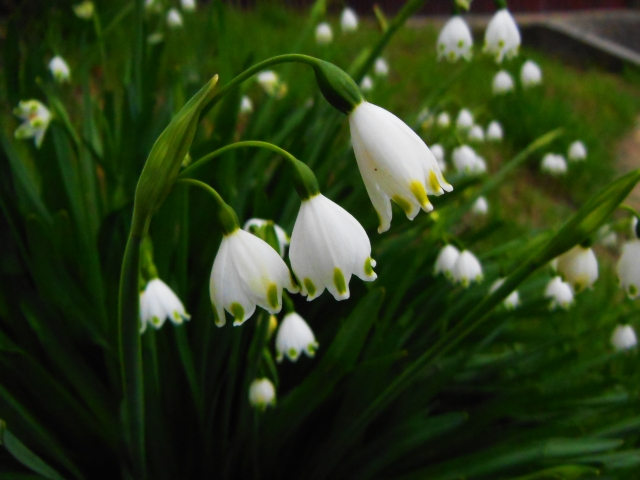 4月16日の誕生花 スノーフレーク - 花言葉は「純粋」「純潔」「汚れなき心」「皆をひきつける魅力」