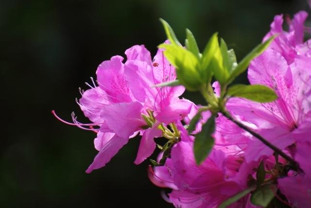 2月20日の誕生花 シャクナゲ