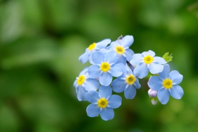 2月6日の誕生花 ワスレナグサ