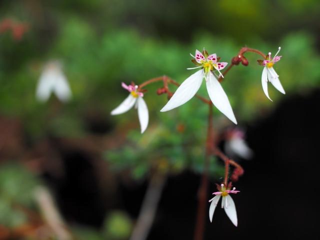 2月8日の誕生花 ユキノシタ