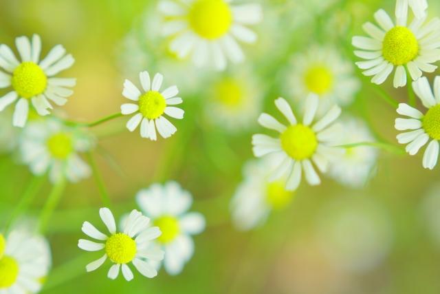 2月14日の誕生花 カモミール