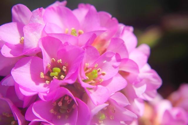 2月10日の誕生花 ヒマラヤユキノシタ