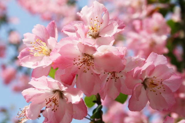 4月5日の誕生花 ハナカイドウ