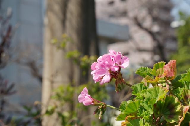4月3日の誕生花 ゼラニウム - 花言葉は「尊敬」「信頼」「真の友情」