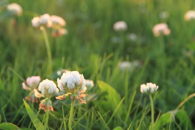 4月8日の誕生花 レンゲソウ - 花言葉は「あなたと一緒なら苦痛がやわらぐ」「心がやわらぐ」