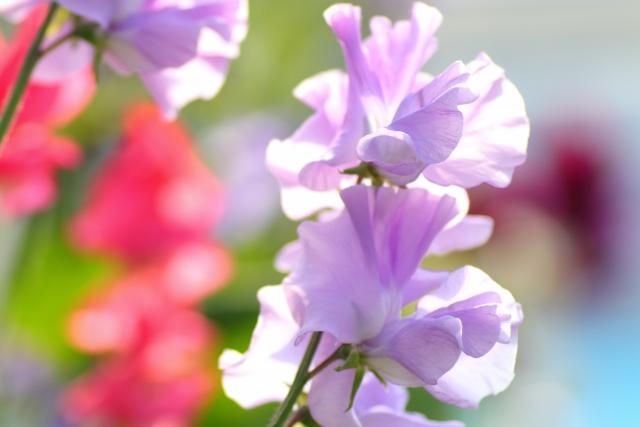 3月20日の誕生花 スイートピー