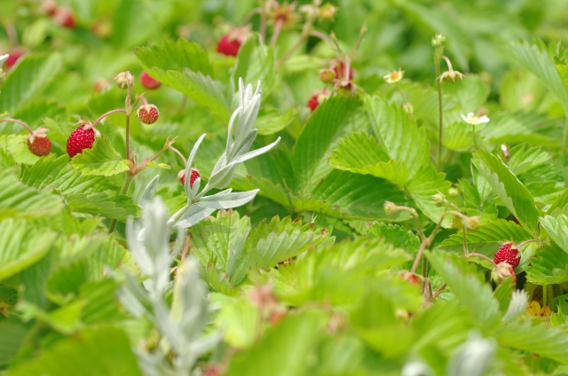 3月29日の誕生花 ワイルドストロベリー