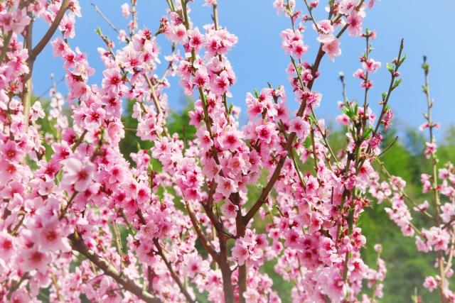 4月12日の誕生花 モモ - 花言葉は「私はあなたのとりこ」「天下無敵」「気立ての良さ」