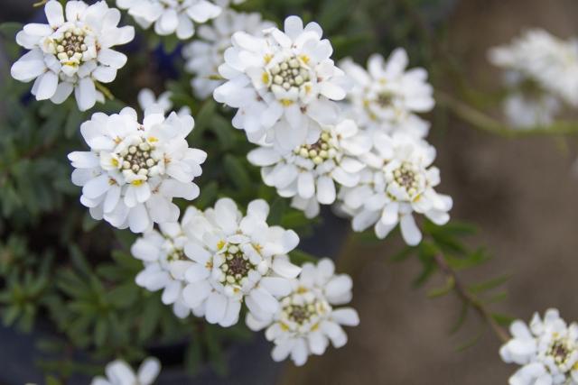 3月15日の誕生花 イベリス