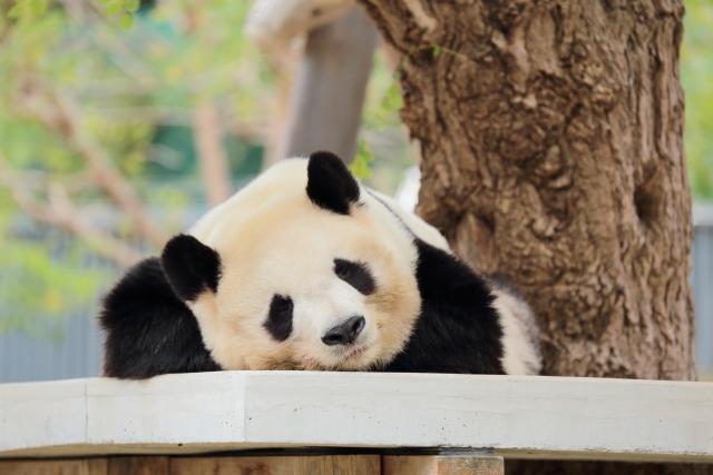 3月11日 パンダ発見の日:日本