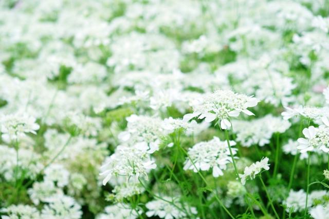 3月15日の誕生花 ホワイトレースフラワー