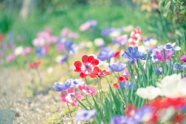 4月6日の誕生花 アネモネ - 花言葉は「はかない恋」「恋の苦しみ」「見捨てられた」「見放された」