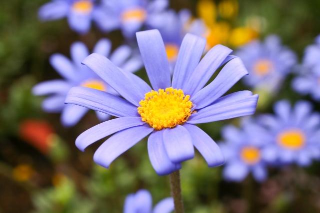 3月14日の誕生花 ブルーデイジー