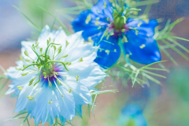 4月21日の誕生花 ニゲラ - 花言葉は「当惑」「ひそかな喜び」