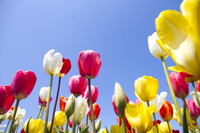 3月22日の誕生花 チューリップ