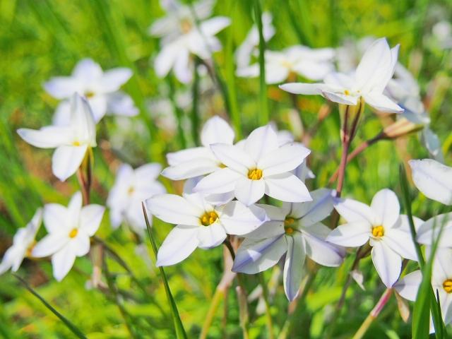 3月26日の誕生花 ハナニラ
