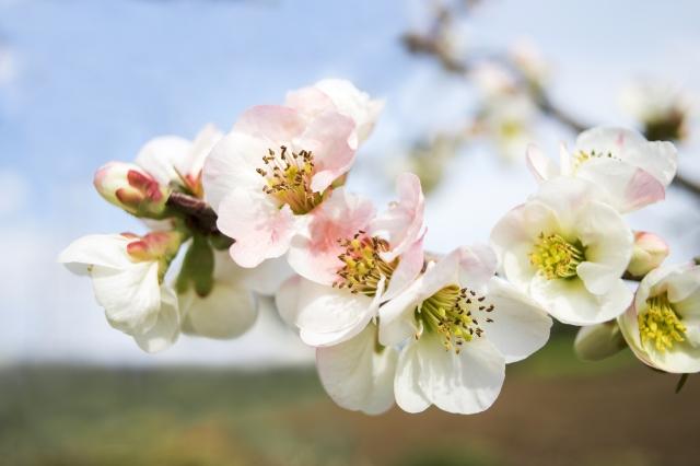 4月4日の誕生花 スモモ