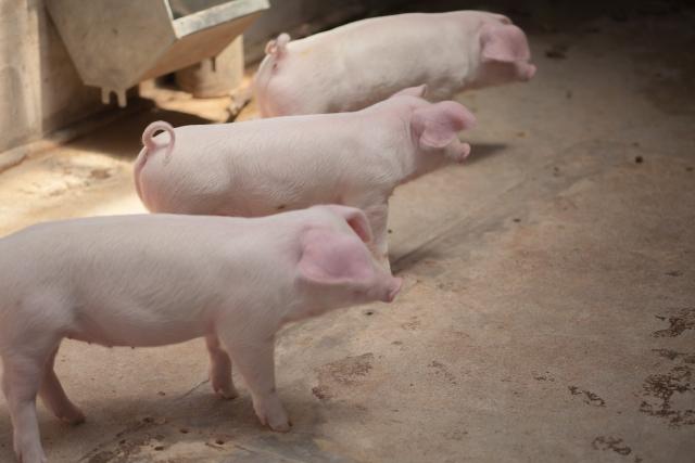 3月1日 豚の日:アメリカ