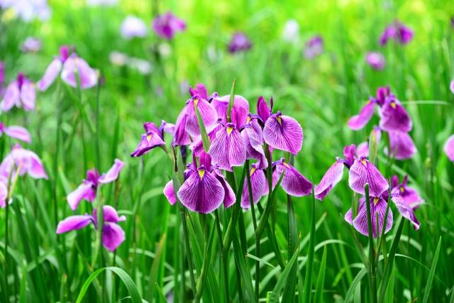 4月17日の誕生花 アヤメ(アイリス) - 花言葉は「よい便り」「メッセージ」「希望」