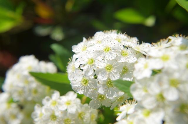 4月24日 コデマリ - 花言葉は「優雅」「上品」「友情」
