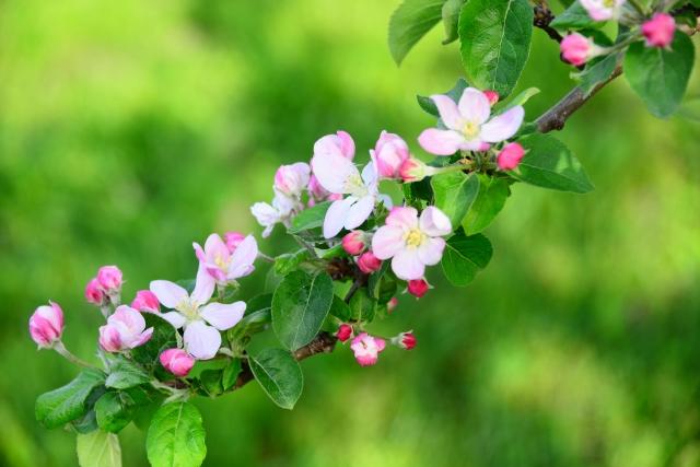 4月8日の誕生花 リンゴ - 花言葉は「優先」「好み」「選択」