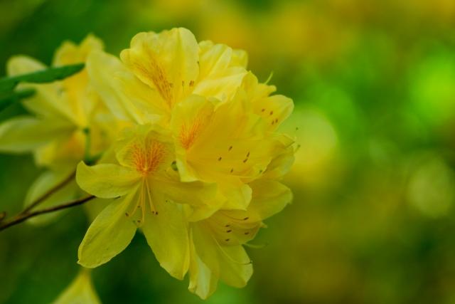 4月16日の誕生花 レンゲツツジ - 花言葉は「情熱」「堅実」