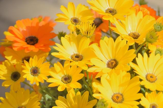 4月7日 ディモルフォセカ - 花言葉は「富」「豊富」