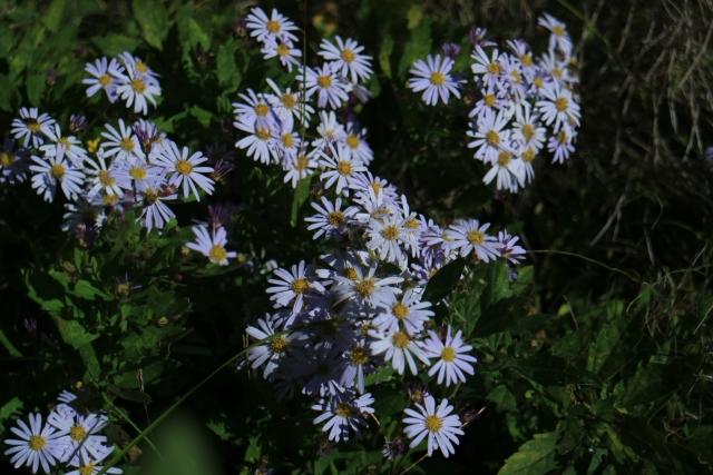 4月22日の誕生花 エゾギク - 花言葉は「変化」「追憶」「同感」「信じる恋」