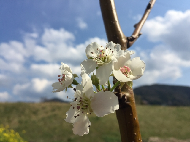 4月20日の誕生花 ナシ - 花言葉は「愛情」