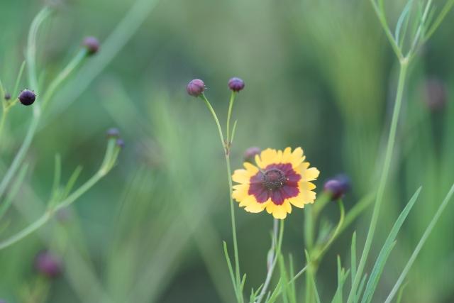 4月13日の誕生花 ハルシャギク - 花言葉は「いつも陽気」「一目惚れ」
