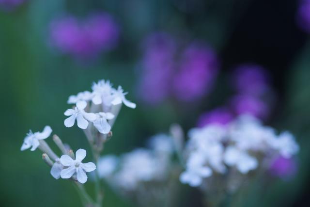 4月16日の誕生花 ムシトリナデシコ - 花言葉は「罠」「未練」