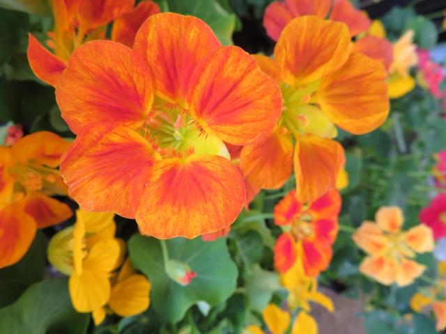 4月6日の誕生花 ナスタチウム - 花言葉は「愛国心」「勝利」「困難に打ち克つ」