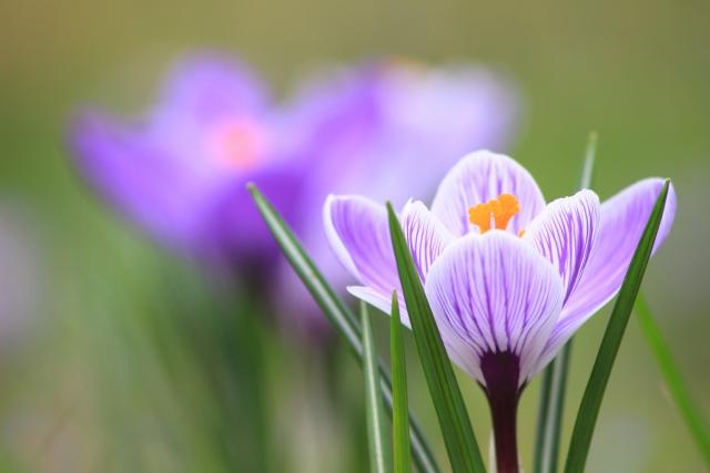 4月7日 クロッカス - 花言葉は「青春の喜び」「切望」