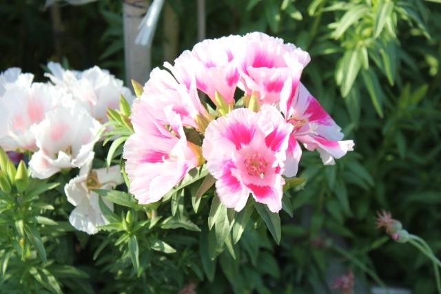 4月15日の誕生花 ゴデチア - 花言葉は「変わらぬ愛」「お慕いいたします」
