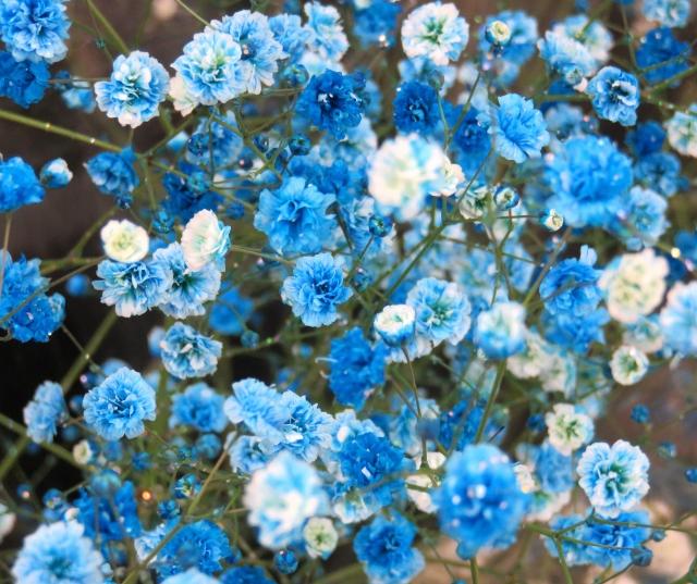 4月4日の誕生花 カスミソウ - 花言葉は「清らかな心」「無邪気」「親切」「幸福」