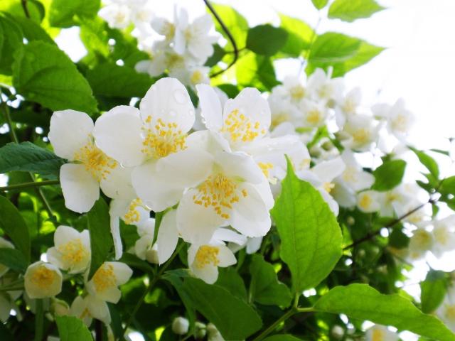 4月28日の誕生花 バイカウツギ - 花言葉は「回想」「気品」