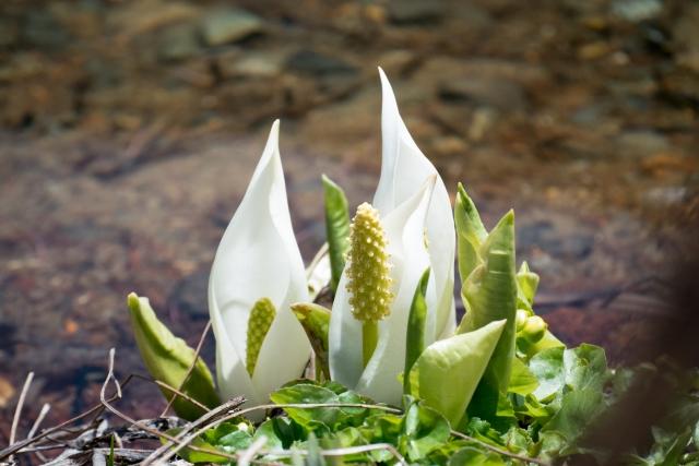 5月3日 ミズバショウ - 花言葉は「美しい思い出」
