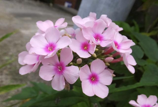 5月2日の誕生花 フロックス - 花言葉は「合意」「一致」