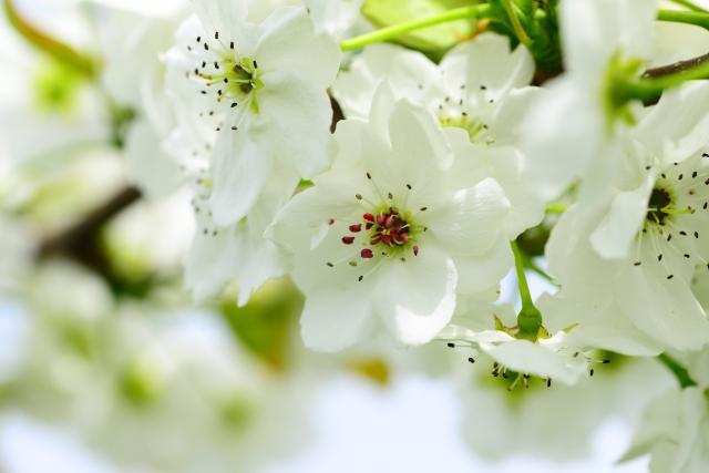 4月30日 ナシ - 花言葉は「愛情」