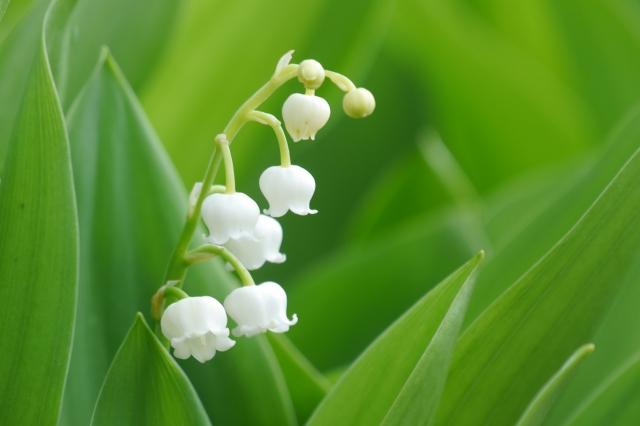 スズラン - 花言葉は「再び幸せが訪れる」「純粋」「純潔」「謙遜」