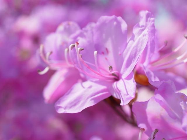 5月1日の誕生花 ミツバツツジ - 花言葉は「節制」「抑制のきいた生活」